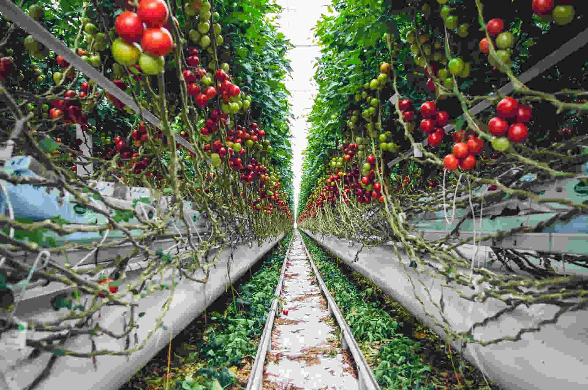 tomato_geenhouse